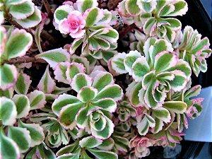 Phedimus Spurius Tricolor - Suculenta