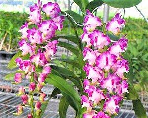 Orquídea Vanda Aerides Lawrenceae - Rara - Adulta