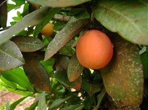 Imbe ou Mangostão Africano