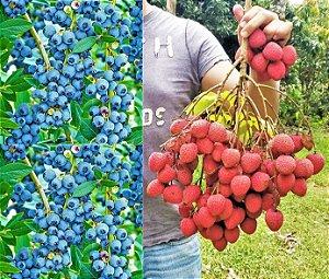 Kit c/ 2 Mudas = Mirtilo Blueberry + Lichia = Ambas Clonadas e p/ Vasos