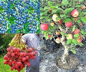 Kit c/ 3 Mudas = Mirtilo Blueberry + Lichia Bengal + Maçã Julieta = Clonadas Todas p/ Vasos