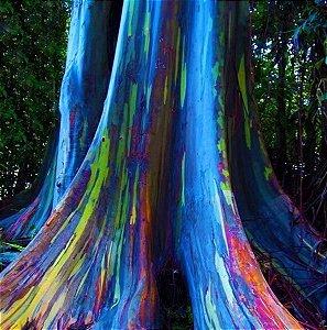 Eucalipto Arco-íris - Tronco Multi Cores - Mudas