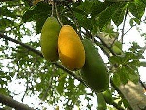 Jacaratiá ou Mamão de Árvore do Campo
