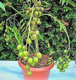 Cajá Manga Anão p/ Vasos - Frutas Excelentes