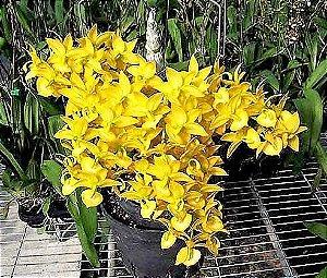 Orquidea Cisne Jumbo Cycnodes Taiwan Gold - Importada