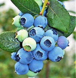 Mirtilo ou Blueberry - Próprio para Vasos - Amora Azul