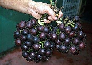 Mapati ou Uva da Amazonia