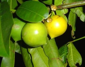 Mangostão Amarelo ou Falso mangostão