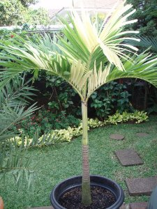 Palmeira Veitchia VARIEGATA