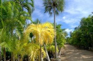 "Palmeira Veitchia "" Dourada """