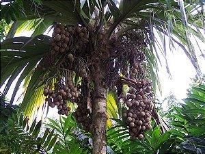 "Marquesas Palm ""FIJI TYPE"""