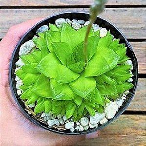 Planta Esmeralda - Haworthia Cymbiformis - Suculenta