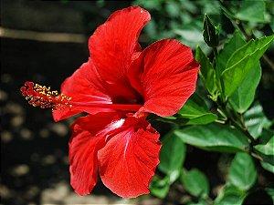 Hibiscu Vermelho