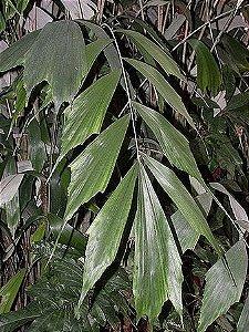 Palmeira Arenga caudata