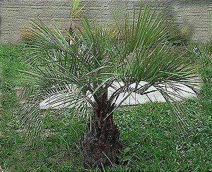 Palmeira Butia Catarinensis