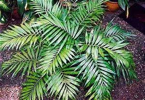 Palmeira Chamaedorea  elegans
