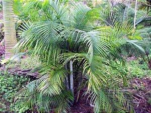 Palmeira Dypsis albofarinosa