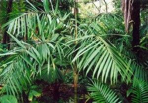 Palmeira Dypsis rivularis