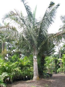 Palmeira Dypsis robusta