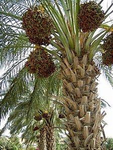 Palmeira de Dende ou Dendezeiro