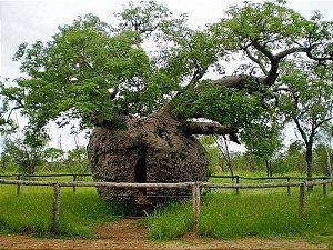 Baobá Australiano