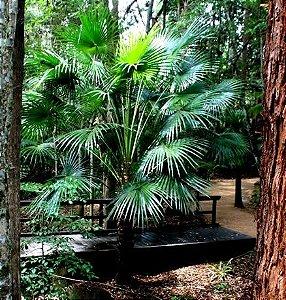 Palmeira Livistona australis