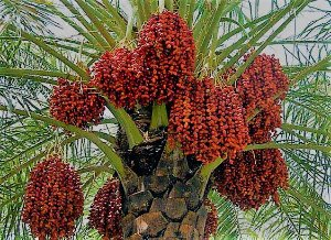 Tamareira Medjool de Frutos Graúdos - A Palmeira que produz as Tâmaras