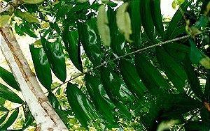 Palmeira Ptychosperma caryotifolia