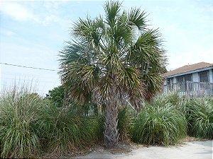 Palmeira Sabal palmetto