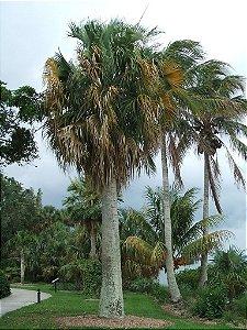 Palmeira Sabal causiarum