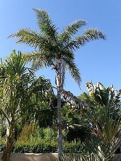 Palmeira Syagrus picrophylla