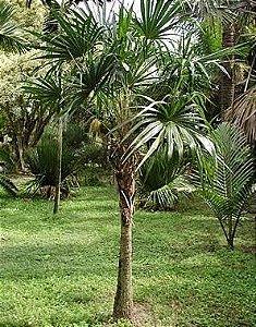 Palmeira Schippia concolor