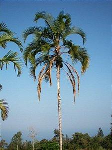 Palmeira Syagrus botryophora