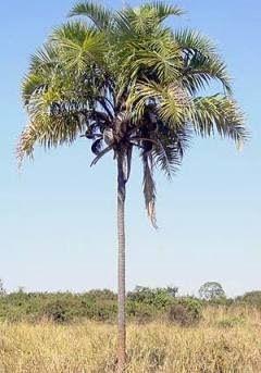 Palmeira Syagrus oleracea ( Guariroba )