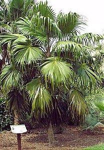 Palmeira Thrinax excelsa