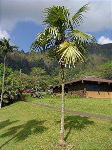 Palmeira Thrinax radiata