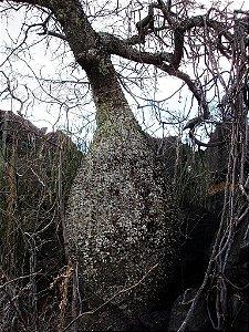 Ceiba Rubriflora do Cerrado ENXERTADA