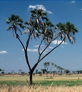 Palmeira Hyphaene coriacea