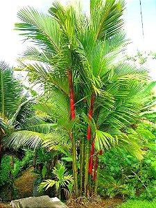 Palmeira Laca ou Renda com 1,20 metro TOTAL
