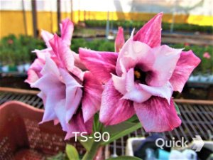 Rosa do Deserto Enxertada TS-90 - Flor Dobrada