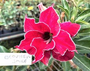 Rosa do Deserto Enxertada Beautiful Smile - Vermelha Bordas Brancas Dobrada