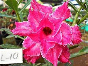 Rosa do Deserto Enxertada L-10 - Flor Dupla