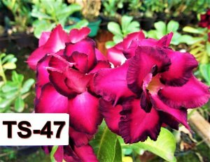 Rosa do Deserto Enxertada TS-47 - Flor Dobrada