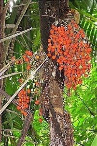 Palmeira Bactris coloradonis