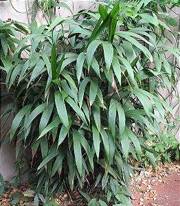 Palmeira Chamaedorea fragrans
