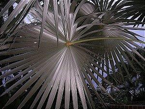 Palmeira Coccothrinax miraguama havanensis