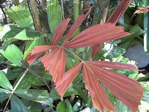 Palmeira Hydriastele pinangoides