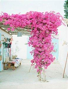 Primavera de Flor Rosa - Poucos Espinhos
