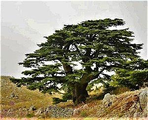 Cedro do Líbano  - Legítimo