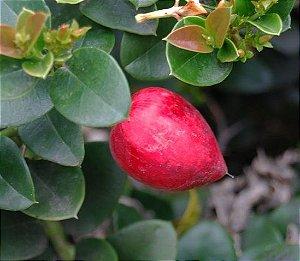 Ameixa Africana ou Ameixa de Natal